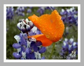 Poppy and Lupine Flower Photos - 4 Blank Note Cards With White Envelopes - Ranlett