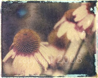 Polaroid transfer - Echinacea Flowers
