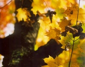 Fall Yellow Maple Leaves 2