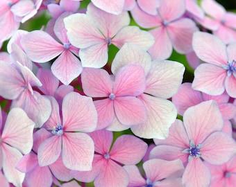 Light Pink Hydrangea Note Card