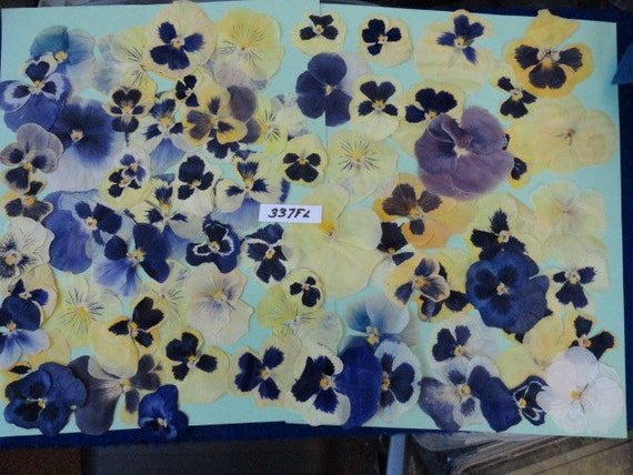 Pansy Grown in Alaska 65 plus Pressed Flowers Preserved and Dried 337 FL