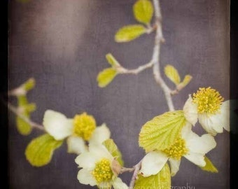Dogwood Flower Nature Photography - eggplant plum beige yellow home decor print