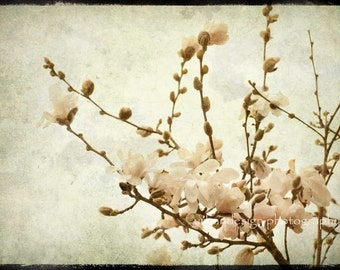 Magnolia Tree Blossoms Photograph, beige vintage baby nursery print, spring flower home decor photo - 8x12