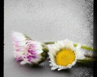 Three Daisies Photo - as seen at the 2013 Oscars GBK Luxury Gift Lounge, modern flower photo