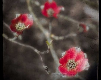 Red & Black Flowers Dogwood Tree Photography - modern floral photo