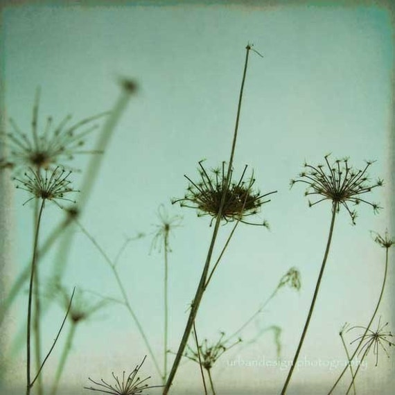 Queen Ann's Lace, Silhouette Photography - modern decor print, aqua blue
