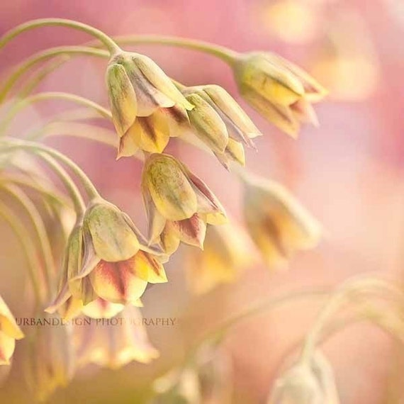 Pink Flower Photography, dreamy, pastel,  yellow and pink, wall art, fine art, nature photography, trumpet flowers, bright and happy