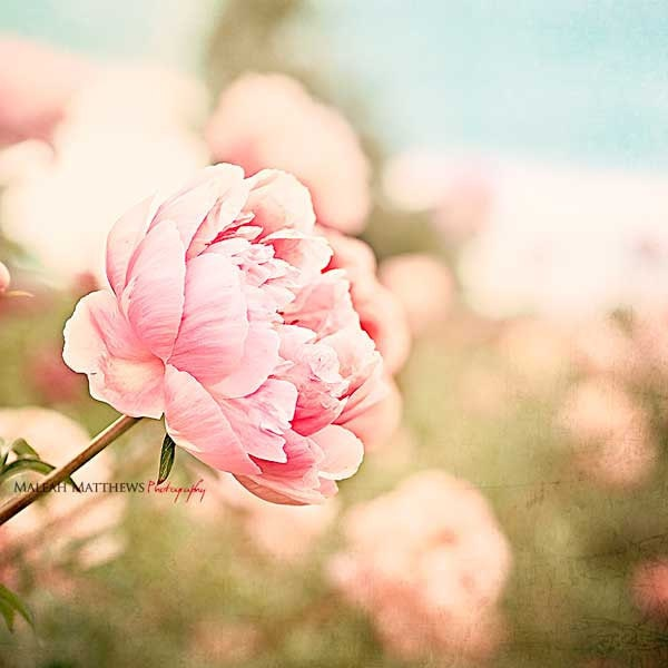 Vintage Inspired Classic Soft Pink Nursery: Pink Peony Wall Art Flower Photography Pink Peonies Girl