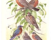 5 Old 1936 BIRDS of AMERICA Louis Agassiz Fuertes Book Plates