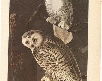 Old 1937 JOHN JAMES AUDUBON The Birds Of America Book Plate Snowy Owl (121)