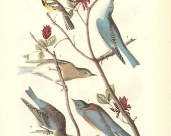 Old 1937 JOHN JAMES AUDUBON The Birds Of America Book Plate Warbler and Bluebirds (393)