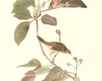 Old 1937 JOHN JAMES AUDUBON The Birds Of America Book Plate Bachman's Sparrow ( 165 )