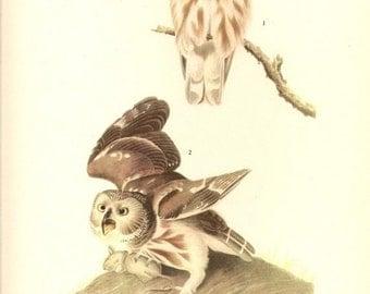 Old 1937 JOHN JAMES AUDUBON The Birds Of America Book Plate Saw - Whet Owl ( 199 )