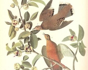Old 1937 JOHN JAMES AUDUBON The Birds Of America Book Plate Zenaida Dove (162)