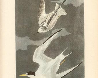 Old 1937 JOHN JAMES AUDUBON The Birds Of America Book Plate Least Tern (319)