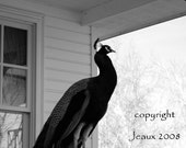 Black and White Peacock original fine photography  ON SALE
