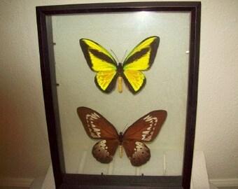 Goliath Birdwing Butterfly Pair