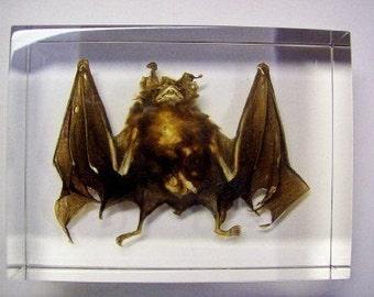 Caifornia Myotis Bat (Large) in Acrylic