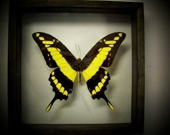 South American Giant King Swallowtail