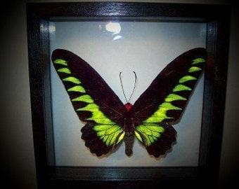 Rajah Birdwing Butterfly Frame