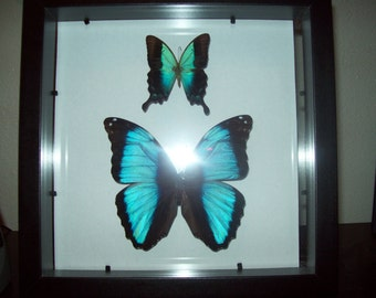 Morpho Butterfly and Blue Swallowtail