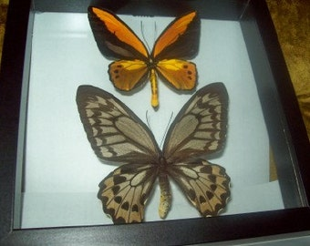 Golden Birdwing Butterfly Pair