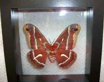 Ceanothus Silk Moth