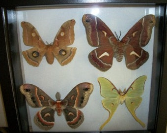 Four Giant Silkmoths of North America