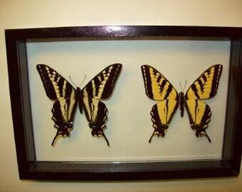 Western Swallowtail Butterflies \/Horizontal Mount