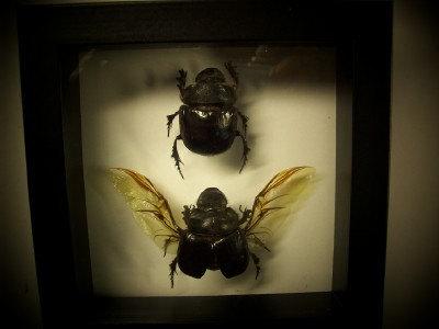 Egyptian Scarab Beetles ( Last Pair )