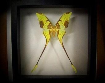 Beautiful Comet Moth