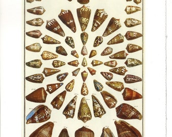 Poisonous Cone Shells or Tropical Sea Shells - Seba's Cabinet of Natural Curiosities to Frame or for Collage, Paper Arts and MORE PSS 959
