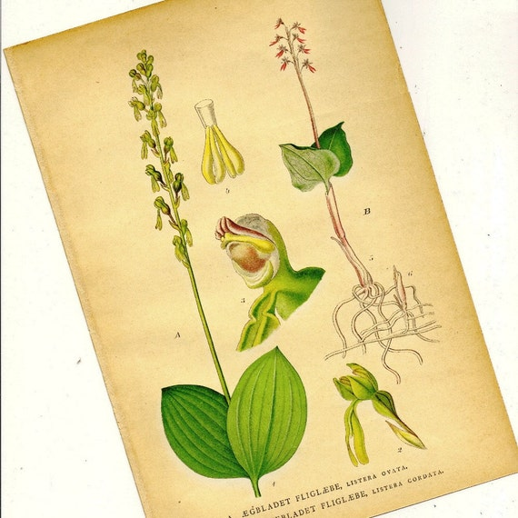 Natural History Print Antique Botanical Orchid - Listera Ovata from 1906 Nordens Flora