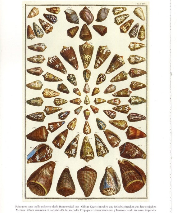 Poisonous Cone Shells or Tropical Sea Shells - Seba's Cabinet of Natural Curiosities to Frame or for Collage, Paper Arts and MORE