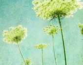 "Flower photography - aqua blue wall art - nature photography - queen Annes lace - lime green decor botanical art ""Looking Up"""