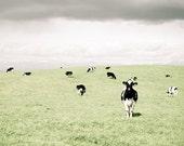 "Cow photograph, black and white cows,  farmhouse art,  green rustic wall art, country animal print  8x8 12x12 20x20 print  ""Curious Cows"""