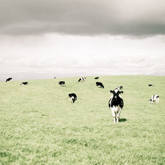 Cow photograph, cows, farmhouse, nursery art, pale green,  farm animal, black white gray 8x8 - Curious Cow