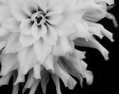 Dahlia3 5x5 - f2images