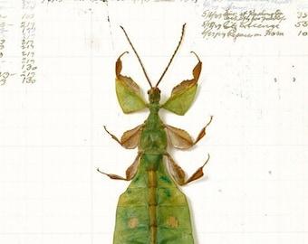 5x7 Leaf Bug
