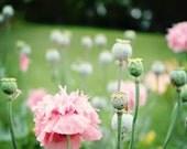 Spring .Sweetest Dreams. 11x14 . nursery decor . flower photography . pink poppies . romantic wall art . botanical print