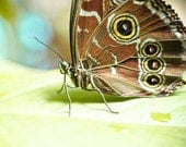 summer butterfly photography .brown lime green print . nature .cottage home decor 8x10  . Perched