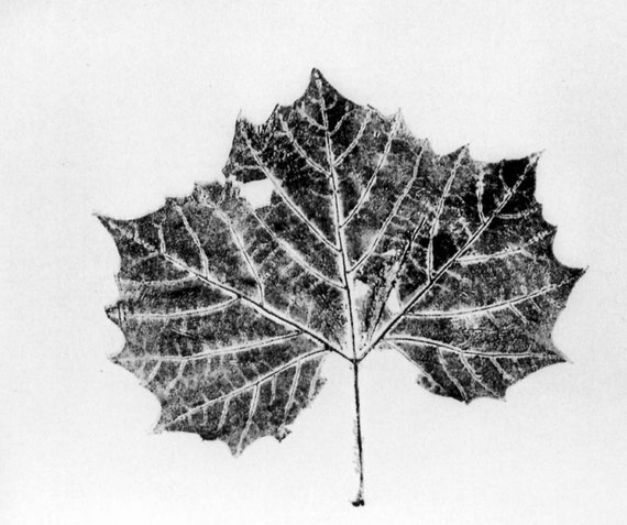 Large Sycamore Leaf is an original nature print.