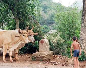 Cuba, Travel Photography, Boys with Oxen, 8x10 Print