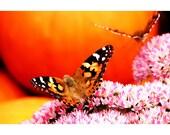 Butterflies and Pumpkins 1 - nature photography