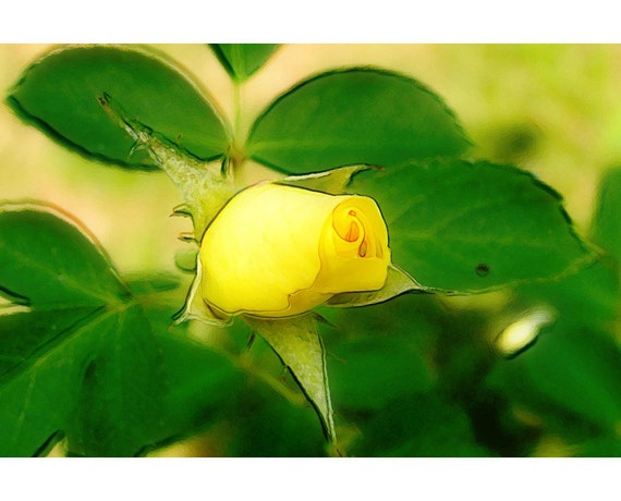 Yellow Rose 1 - nature photography