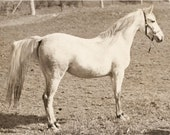 Super Vintage 1947 HORSE PHOTO - A Beautiful White Horse -original from Photographers STASH