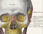 Grays Anatomy SKULL PRINT Anatomical Head Print Medical Illustration ...Great for Framing Altered Art  scrapbooking collage decoupage