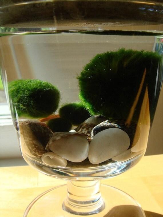 SALE Moss on Top Marimo Balls Unique Mini Terrarium