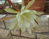 Epiphyllum Orchid Cactus Plant Cuttings