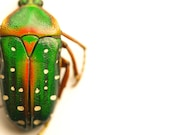 Beetle Photograph Beetle Print Affordable Home Photography Prints Nature Photography Decor Entomology Insects Coleoptera